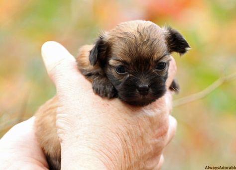 Mi Ki Puppies For Sale Toy Breed Puppy Nursery In Florida In 2020 Puppies Puppy Nursery Cute Little Puppies
