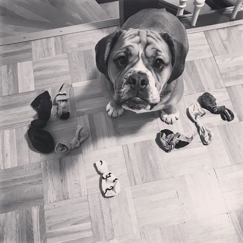 #dogsofinstagram #bulldog #dog #socken #dog #dogsofinstagram #dogs #puppy #dogstagram #instadog #pet #doglover #love #dogoftheday #cute #doglovers #instagram #pets #of #puppylove #doggo #puppies #cat #doglife #puppiesofinstagram #ilovemydog #dogsofinsta #animals #hund #doggy #petstagram #k #animal