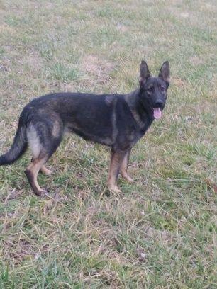Frankie With Images Dog Breeder Shepherd Dog Dogs