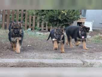 Deutsche Schaferhund Welpen Mit Sv Papieren Schaferhund Welpen