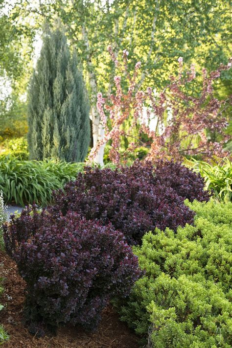 Concorde Japanese Barberry Deep Maroon Purple Foliage That Becomes Even More Intense During Fa Full Sun Landscaping Front Yard Landscaping Japanese Barberry