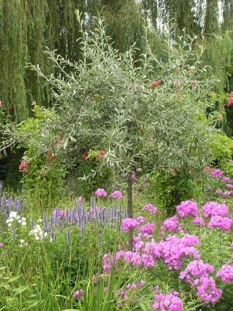 Hochstammchen Fur Den Garten Winterharte Pflanzen Garten Pflanzen Baume Garten