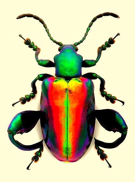 malvorlagen k臟er insekten  amorphi
