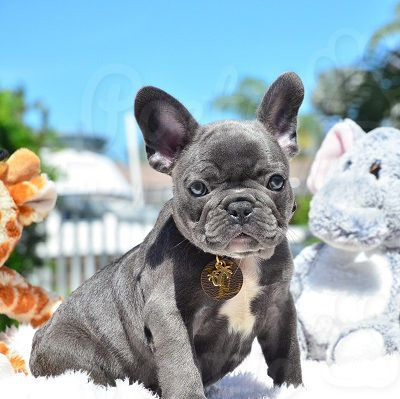 French Bulldog Puppy For Sale In Fort Lauderdale Fl Adn 72126 On