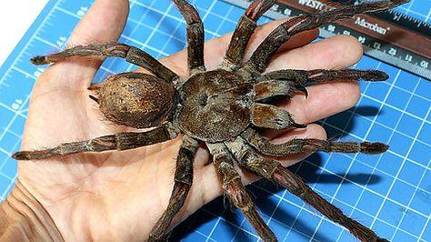 Küchenideen wolf ~ 20 best spider obsession images on pinterest chandelier spider