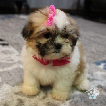 Gold White Shih Poo Puppies For Sale Near Me One Bark Plaza Fae In 2020 Shih Poo Puppies Shih Poo Cute Baby Animals