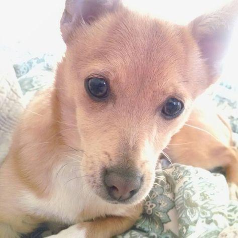 Italian Greyhound Terrier Mix Animals Terrier Mix I Love Dogs