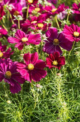 Cosmea Apollo Carmine Cosmos Plants Flowers