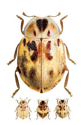 Cranoryssus Fairmairei 虫
