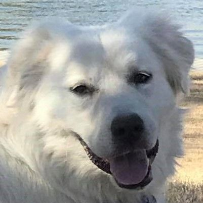 Great Pyrenees Dog For Adoption In Spring Tx Adn 782984 On