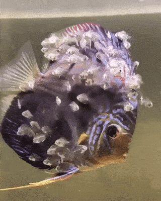 [GIF] Big fish and his kids