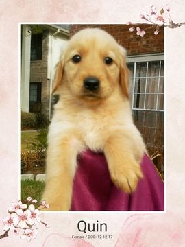 Golden Retriever Puppy For Sale In Missouri City Tx Adn 62949 On