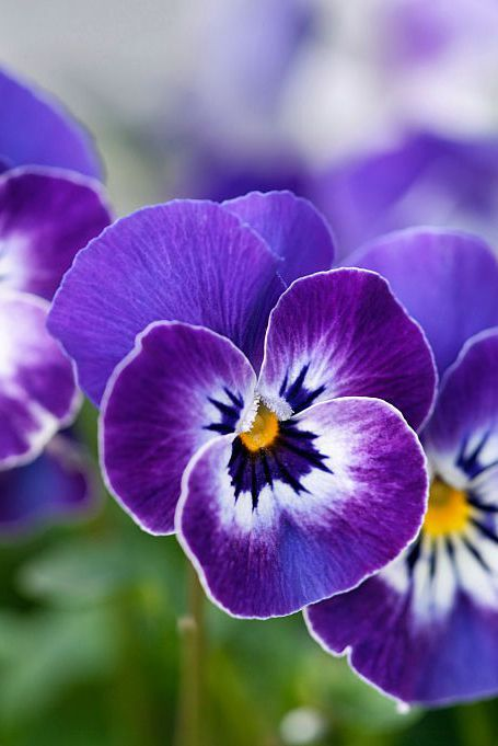 What Your Birth Flower Says About Your Personality February Birth Flowers Birth Flowers Pansies Flowers