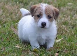 Image Result For Long Haired Jack Russell Terrier Puppies For Sale In Kent Jack Russell Terrier Puppies Jack Russell Jack Russell Terrier