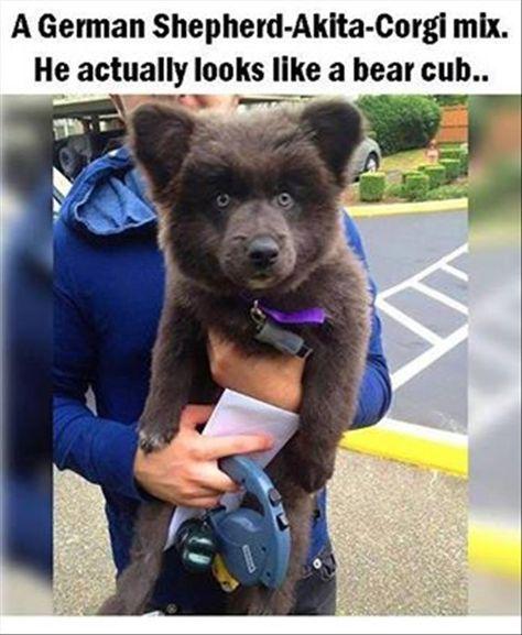 German shepherd -Akita - Corgi mix that looks like a bear cub