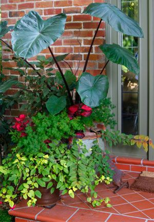Elephant Ear Plant Garden Containers Plants Planting Flowers