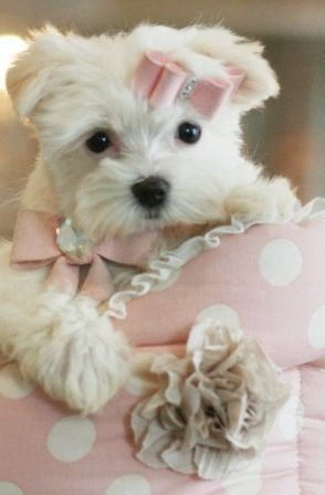 Teacup Maltese Teacup Maltese Dogs With Images Maltese Puppy Teacup Puppies Maltese Teacup Maltese