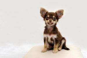 Zwergpinscher Vs Chihuahua Hund Vs Hund Was Ist Besser Besser