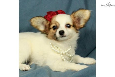 You Ll Love This Female Papillon Puppy Looking For A New Home Papillon Puppy Papillon Puppies For Sale Papillon Dog