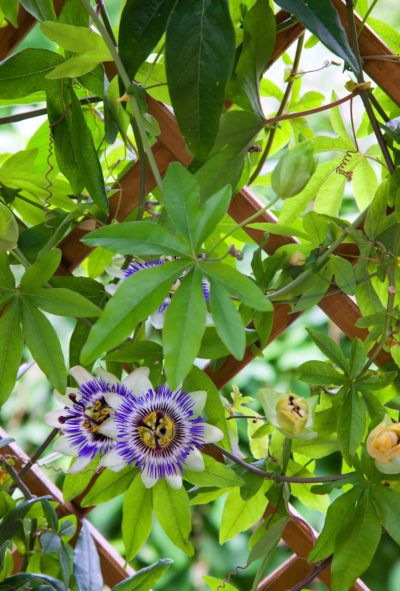 Trimming Passion Vines When And How To Prune A Passion Flower Vine Flowering Vines Passion Vine Climbing Plants