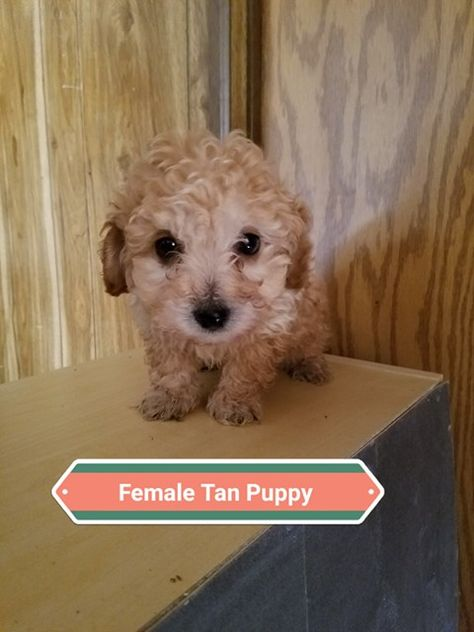 Litter Of 3 Maltipoo Puppies For Sale In Denver Co Adn 59545 On