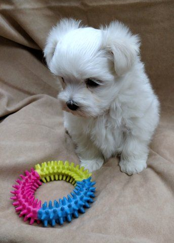 Maltese Puppy For Sale In Winston Salem Nc Adn 65760 On
