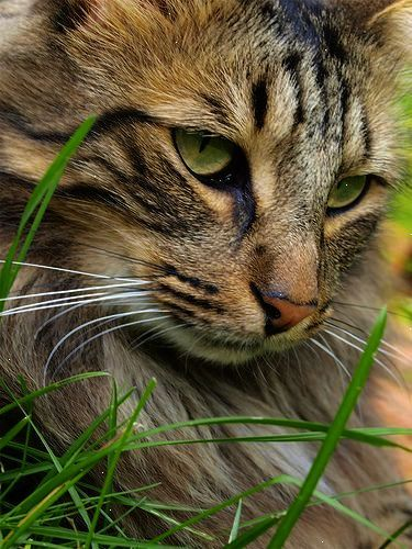 A Cat In The Grass Is A Tiger In The Jungle English Proverb A Cat On Your Bed Is King Or Queen Of The Jungle Beautiful Cats Norwegian Forest Cat Cats