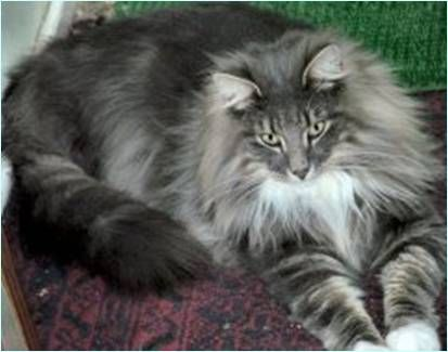 Norwegian Forest Cat - not as big as it's relatives but just as majestic
