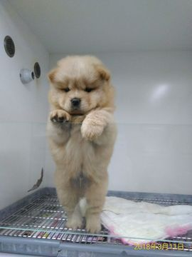 Chow Chow puppy for sale in SAN FRANCISCO, CA  ADN-68694 on