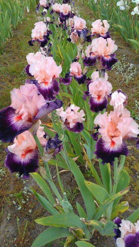 Bearded Iris 2 Bulbs Perennial Bonsai Impressive Light Lemon Yellow Beautifying
