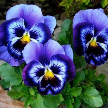 64 Pieces Jigsaw Puzzle The Garden Pansy Is A Type Of Large Flowered Hybrid Plant Cultivated As A Garden Flower It I In 2020 Pansies Flowers Flower Pictures Pansies