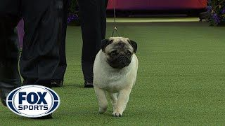 Chapel Hill Pug Wins Group At Westminster Dog Show Chapel Hill