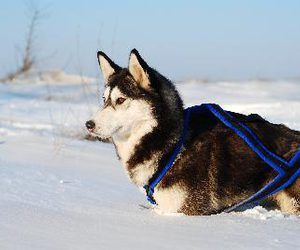 How To Fit A Dog For A Harness Dog Sledding Sled Dog Harness Dogs