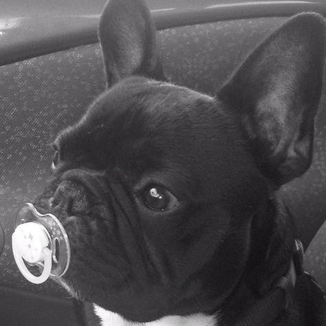 Cute french bulldog ~m