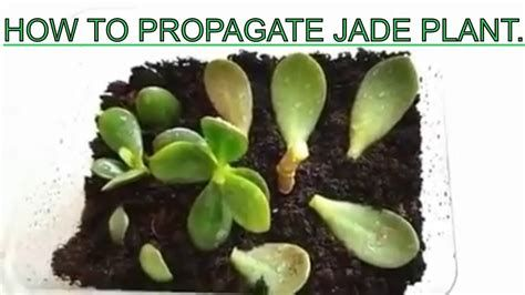How To Root A Jade Plant Plantideas Plant Ideas Jade Plants Plants Plant Cuttings