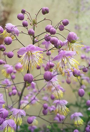 Thalictrum Rochebrunianum Easy To Grow And Blooms All Summer Uk