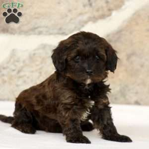 Cavapoo Puppies For Sale Cavapoo Puppies Dog Breed Info
