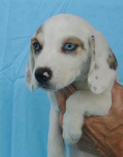 Echo Blue Heeler Beagle Mix Ohio Bianca Dog Breeds
