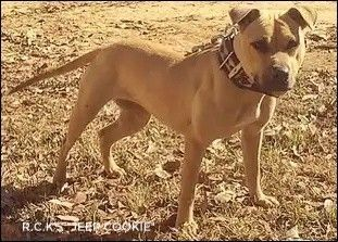 Adopt Meatball On Petfinder Pitbull Terrier Dog Adoption Kitten Adoption