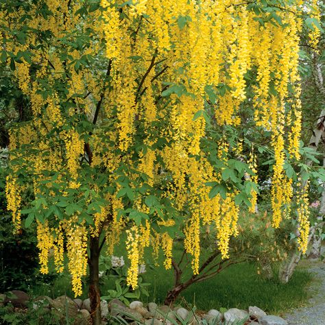 Magnificent when it blooms in late spring and early summer, golden chain tree produces hanging clusters to 2 feet long of yellow flowers that resemble wisteria. The dark green, fine-texture foliage is attractive, too. Name: Laburnum