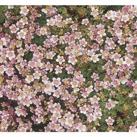 2 5 Quart In Pot Rockfoil L5653 Lowes Com Summer Plants Winter Plants Long Blooming Perennials
