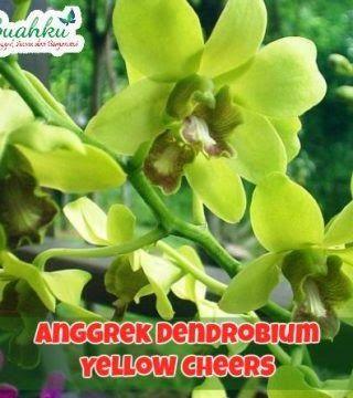 Gambar Bunga Anggrek Dendrobium Jual Bunga Anggrek Dendrobium