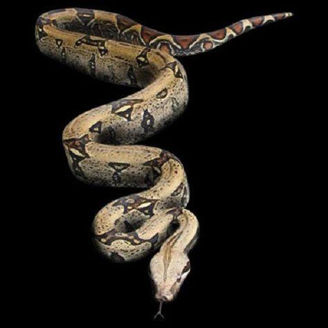 Boa Constrictor Snake 3D HEAT PRESS TRANSFER for T-Shirt Sweatshirt Fabric #263b #AB