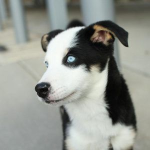 Chihuahua Corgi Husky Mix Dog Breed Information Husky Puppies