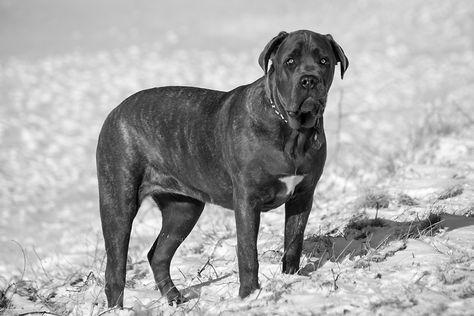 Sadie 10 Months Canecorso Reversebluebrindle Brindlecorso Italianmastiff Puppy Cane Corso Brindle Mastiffs