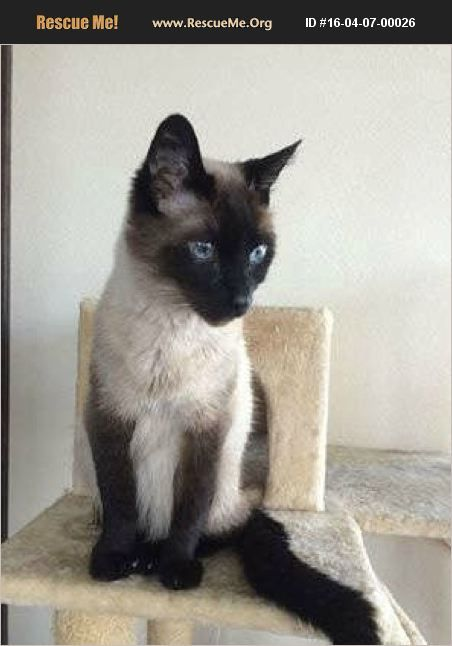 Pin By Jennifer Mcmaster On Siamese Siamese Cats Siamese Rescue Oriental Cat