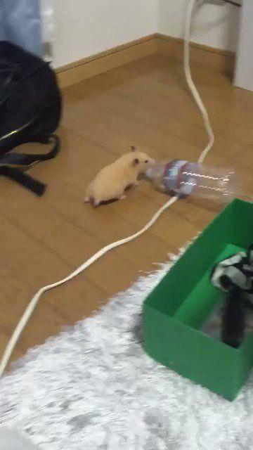 かわいい動物wiki On Twitter ペットボトルと友達 In 2020 Funny Hamsters Cute Hamsters Hamster