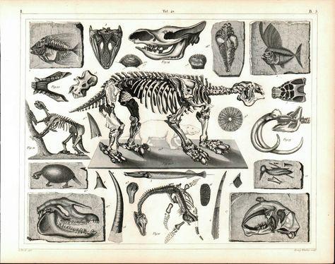 Fossils Tertiary Plesiosaurus Early Mammals Antique Archaeology Print 1857