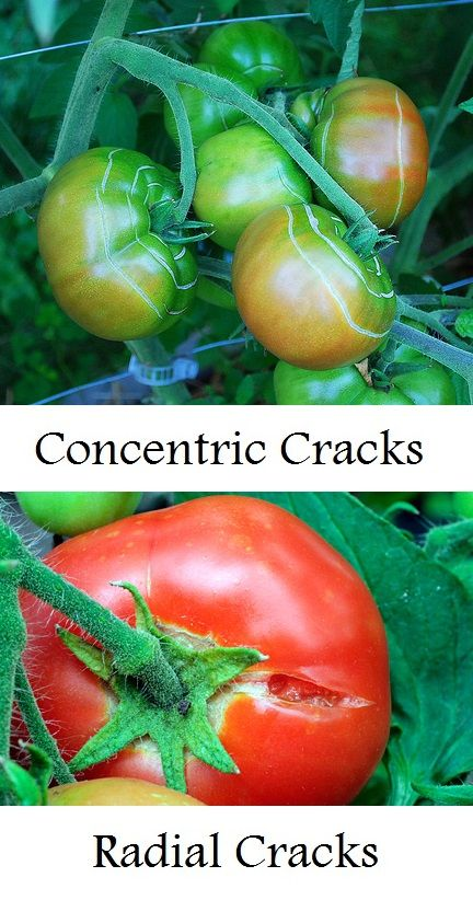 Why a tomato cracks and what to do about it and a lot of other information about caring for tomato plants.