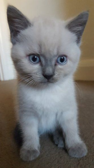 6 Kittens For Sale In 2020 Grey And White Kitten Grey Kitten White Kittens